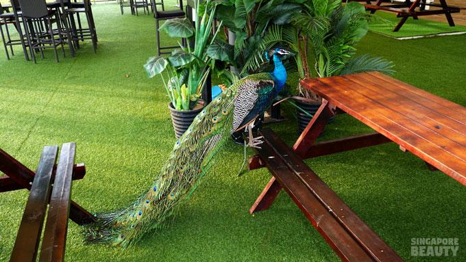 the-three-peacocks-at-labrador-park-2