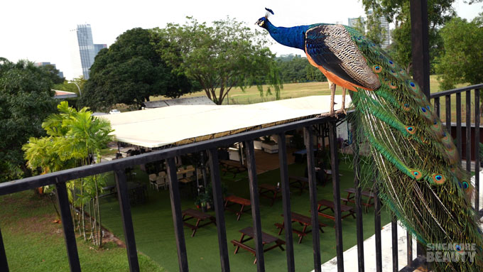 the-three-peacocks-at-labrador-park-roof
