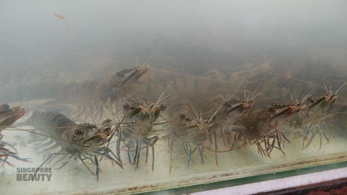 catch live tiger prawn