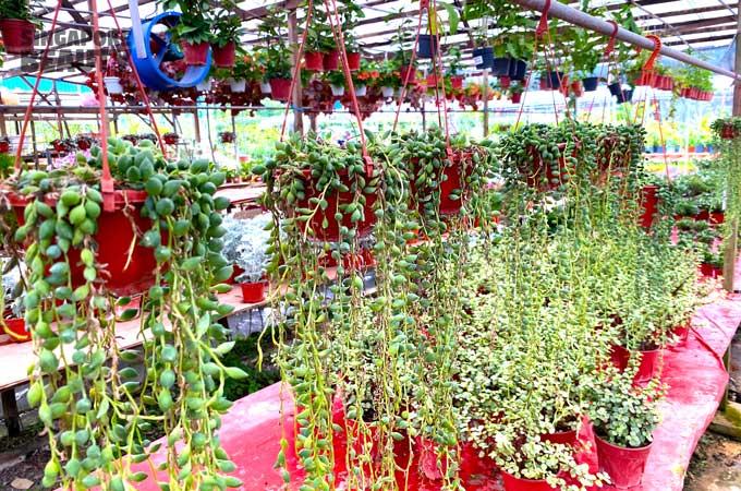 Gooseberry plant