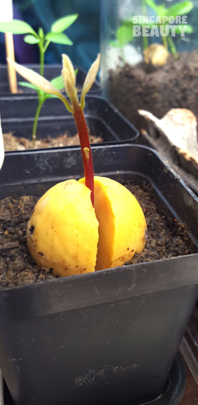 avocado propagation