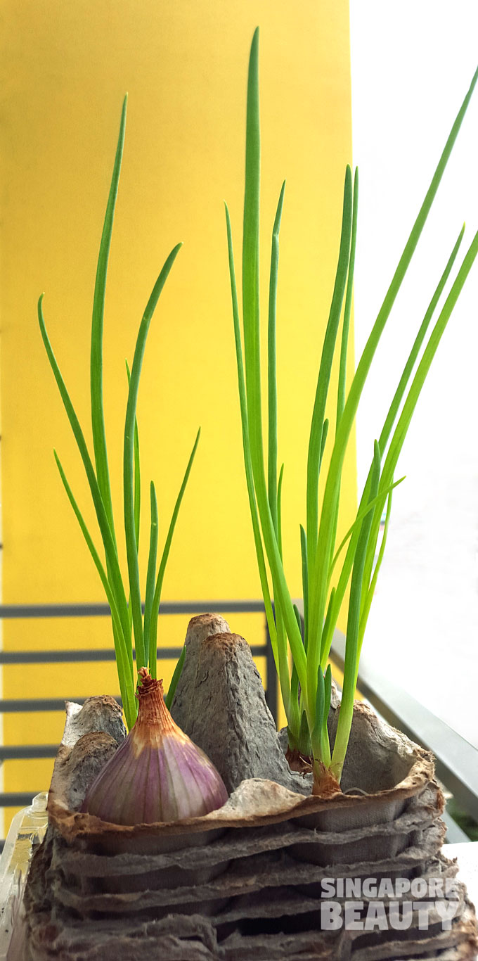 spring onions from kitchen scraps