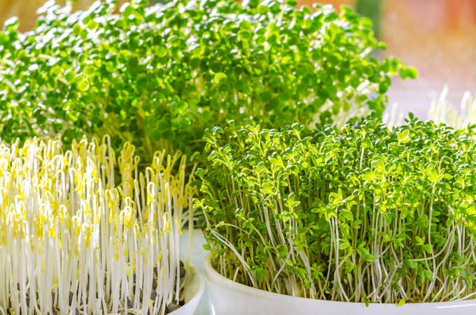 homegrown-bean-sprouts