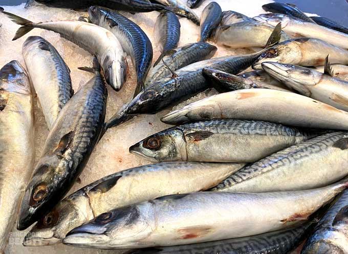 saba mackerel